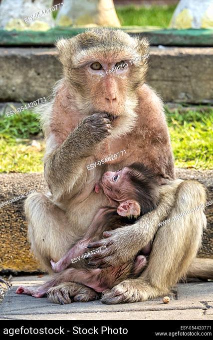 Crab-eating macaque (Macaca fascicularis) in an urban environment