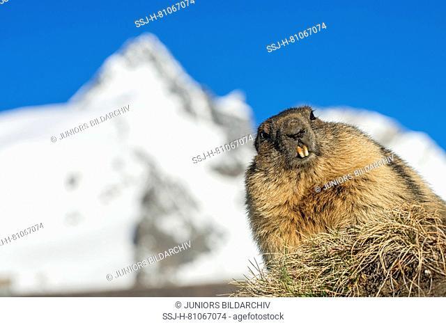 Alpine Marmot (Marmota marmota). Adult with the mountain Grossglockner in background, highest mountain of Austria