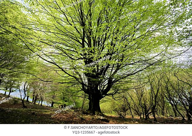 Beech forest in spring. Monte Cerredo, Castro Urdiales, Cantabria, Spain