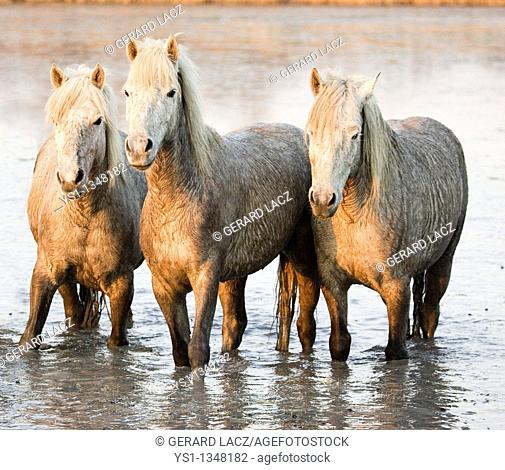 CAMARGUE HORSE, HERD STANDING IN SWAMP, SAINTES MARIE DE LA MER IN SOUTH OF FRANCE