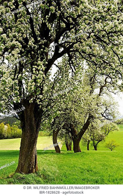 Blossoming pear trees, Mostviertel district near Amstetten, Lower Austria, Austria, Europe