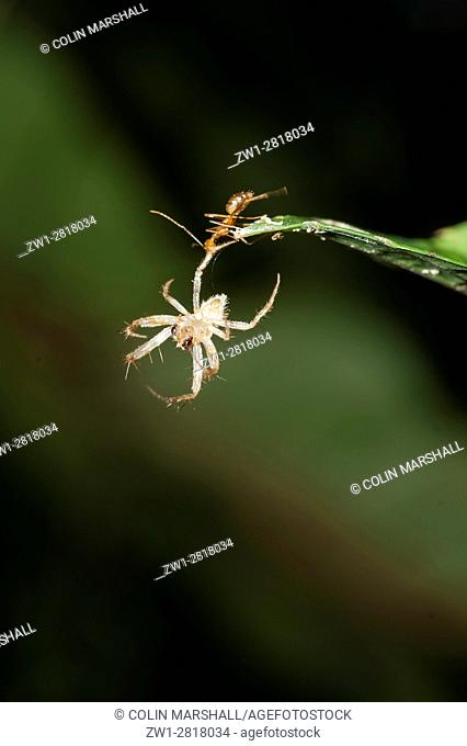 Fire Ant (Oecophylla sp. ) holding onto spider moult on leaf, Klungkung, Bali, Indonesia