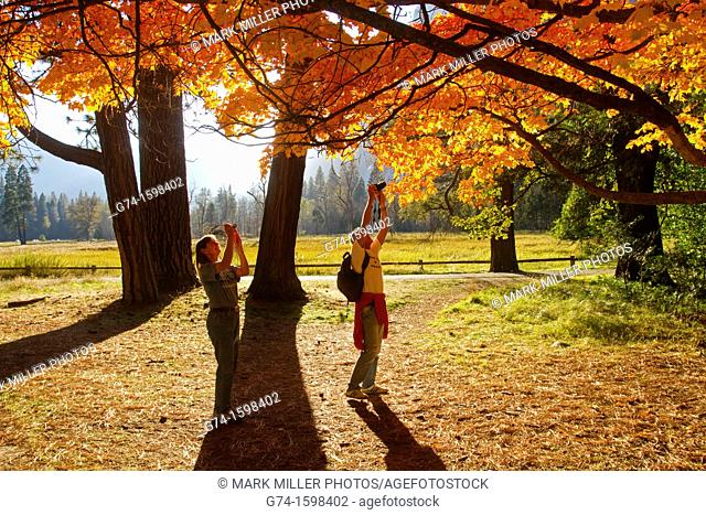 Tourists taking pictures of Bright fall colors of last remaining Sugar Maple Tree introduced into Yosemite National Park, California, USA