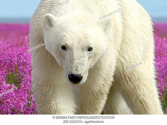 Polar Bear (Ursa maritimus) in fireweed (Epilobium angustifolium) on an island off the sub-arctic coast of Hudson Bay, Churchill, Manitoba, Canada