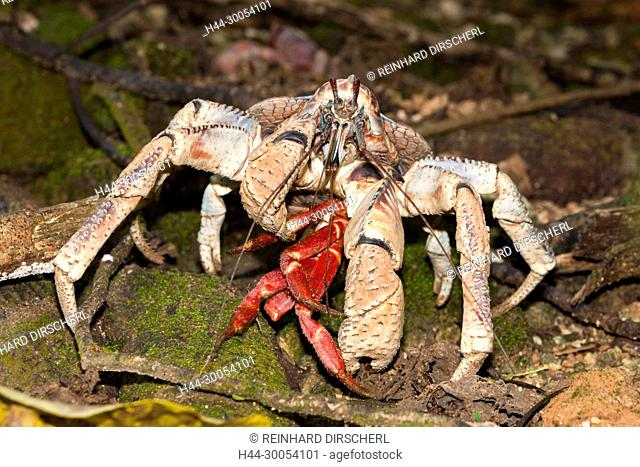 Robber Crab feeding on Christmas Island Red Crab, Birgus latro, Christmas Island, Australia
