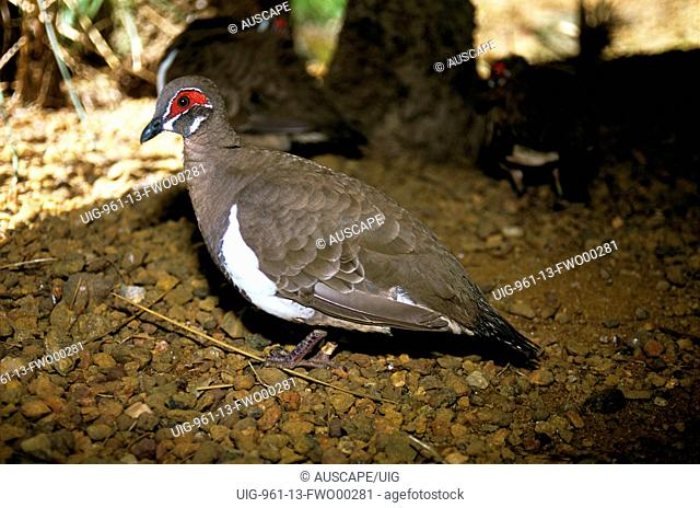 Partridge pigeon on the ground, where it feeds and nests, showing bare skin on head coloured red, Northern Territory, Australia