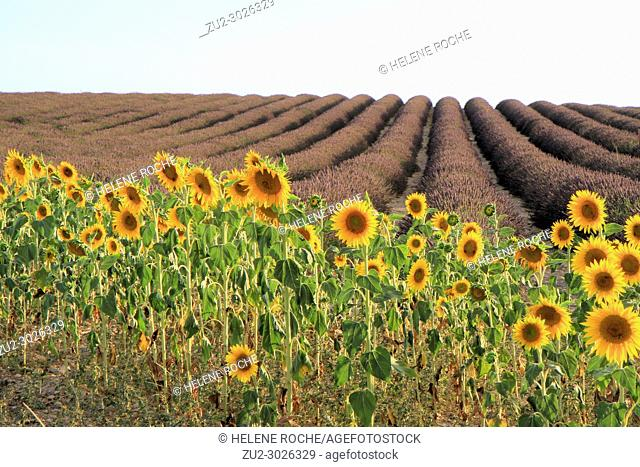 Sunflowers and lavender fields in Valensole, Provence, France