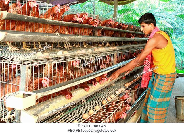 A man feeds chicken at poultry farm at Gafargaon Mymensingh, Bangladesh October 2010