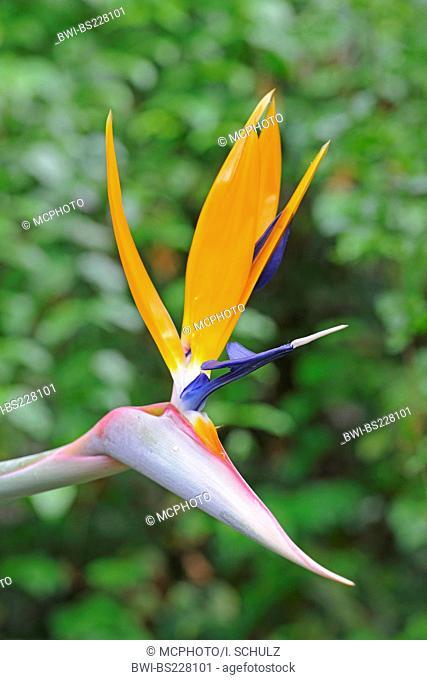crane flower, bird of paradise flower, geel piesang (Strelitzia reginae), flower