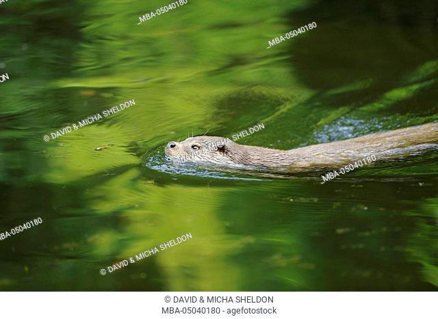 Eurasian otter, Lutra lutra, water, side view, swim