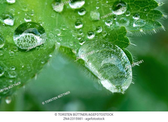 Water Drops Showing the Lotus Effect of a Thistle Leaf, Bad Schallerbach, Austria