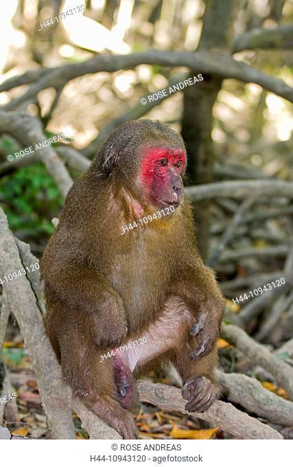 Monkey, Asian, Asia, outside, young, national park, primates, Rhesus monkey, rhesus macaque, bandar, Macaca mulatta, Nam Cat, Vietnam, Asia, mammal, animal