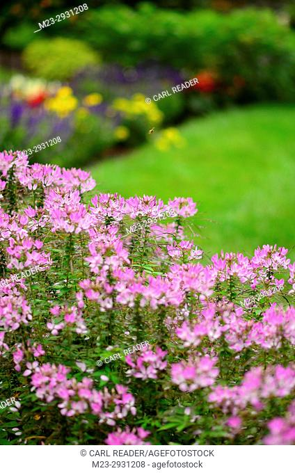 Cleome flowers form the foreground of a garden, Pennsylvania, USA