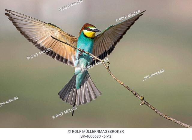 Bee-eater (Merops apiaster) lands on a branch, Biosphere Reserve Danube Delta, Dobruja, Romania