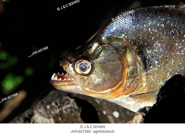 Piranha, (Pygocentrus nattereri),adult portrait, Pantanal, Mato Grosso, Brazil, South America