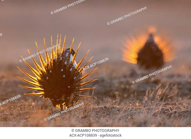 Sage Grouse males, Centrocercus urophasianus, dancing on their lek, Montana, USA