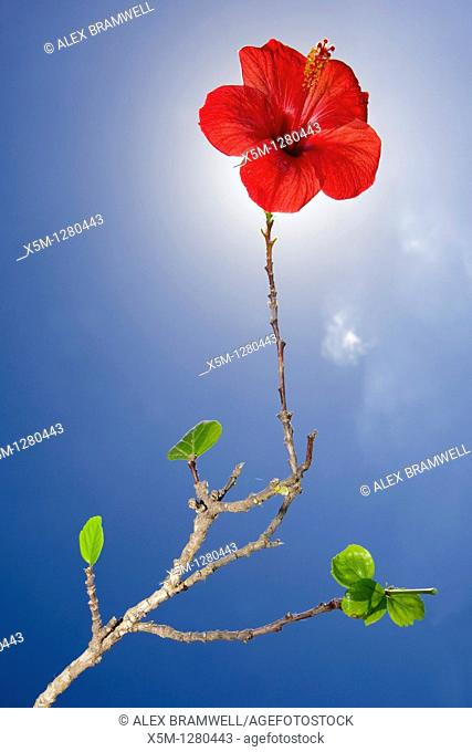 Red hibiscus flower on long stem with blue sky