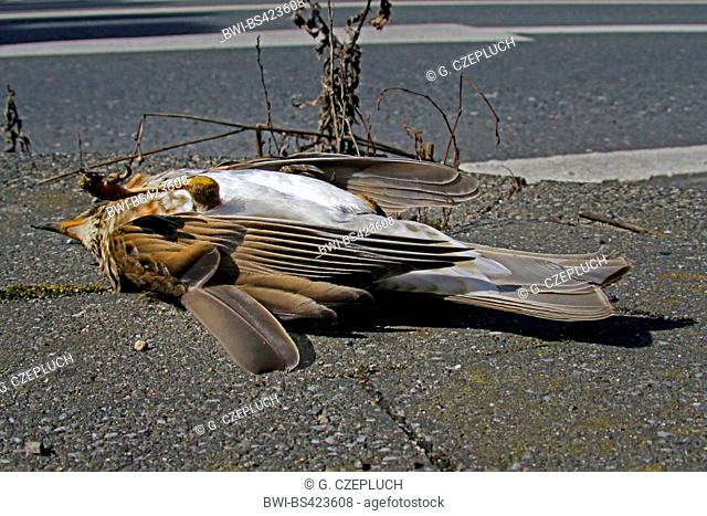song thrush (Turdus philomelos), killed by a car, sing trush lying dead on a sealed road, Germany