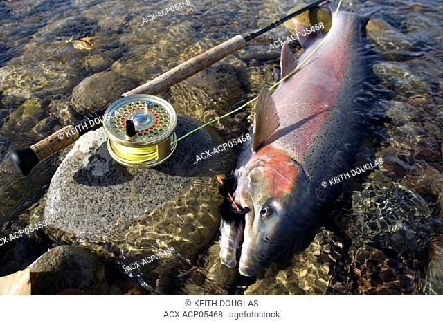 Male steelhead, Bulkley river, Smithers, British Columbia, Canada