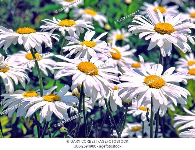 White aster daisy flowers