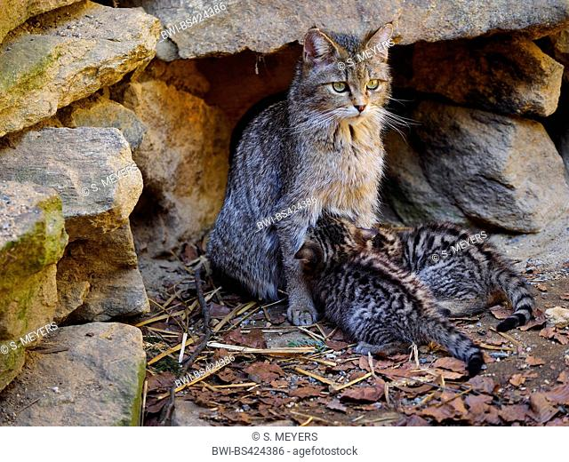 European wildcat, forest wildcat (Felis silvestris silvestris), female sucks ist kitten, Germany
