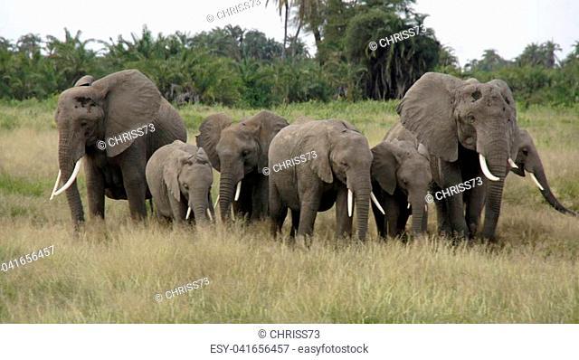 wild living elephants in a kenyan national park