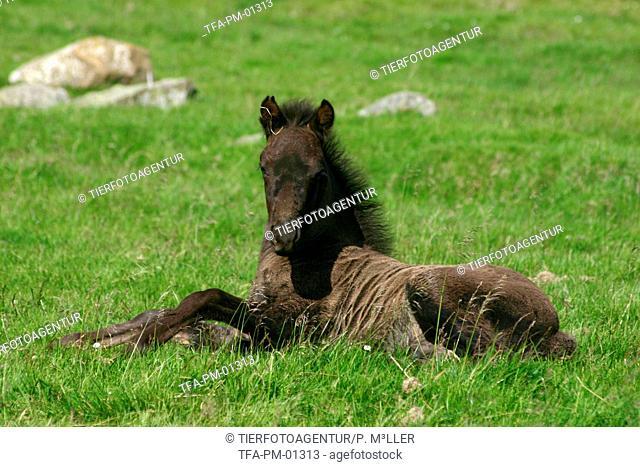 lying Icelandic horse foal