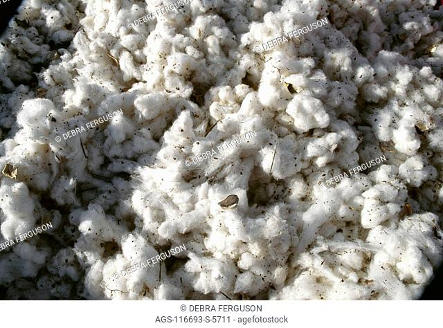 Agriculture - Close-up of harvested cotton / Mississippi, USA