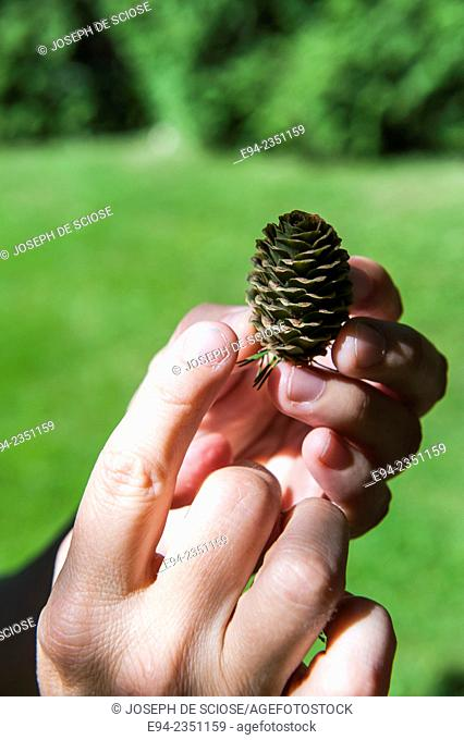 A Larch cone held in the fingers of a young woman