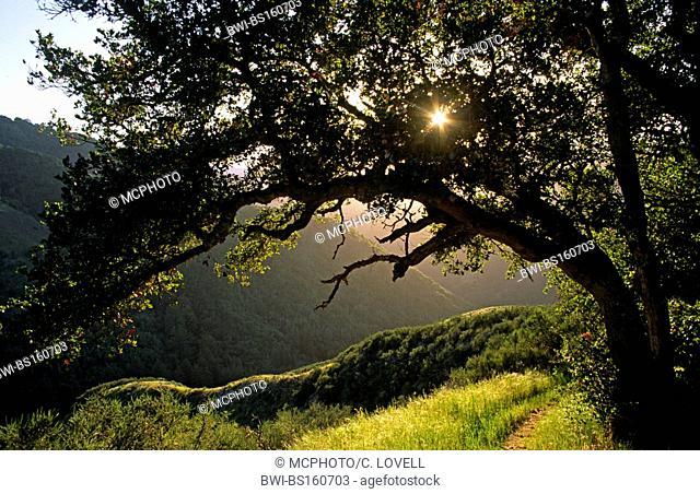 The sun sparkles through an OAK TREE (genus Quercus) in GARZAS CANYON, part of GARLAND PARK in CARMEL VALLEY, USA, California