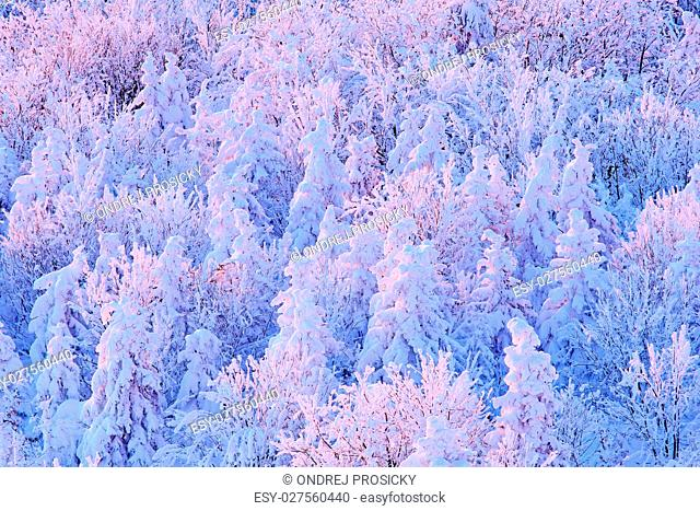 Blue winter landscape, birch tree forest with snow