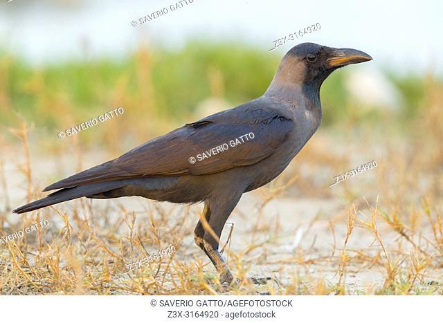 House Crow, Standing on the ground, Salalah, Dhofar, Oman