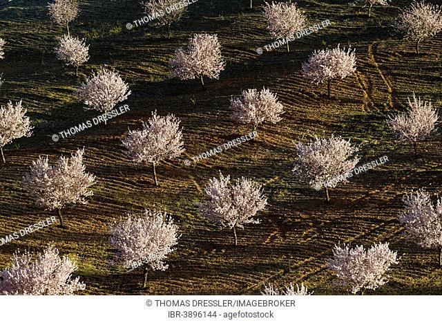 Cultivated Almond trees (Prunus dulcis) in full blossom, Almería province, Andalusia, Spain