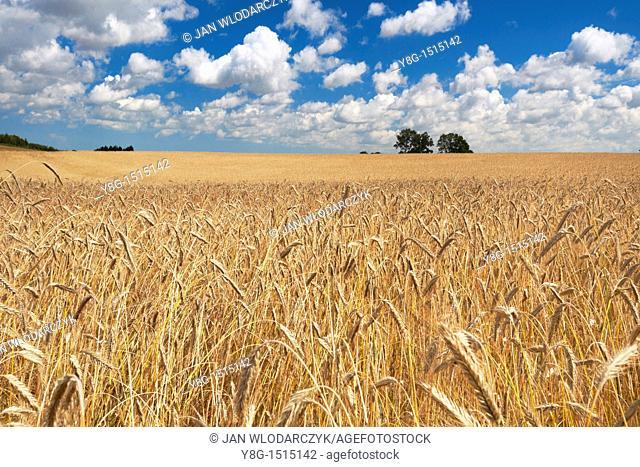 Fields of grain, Poland, Europe, Pomerania region