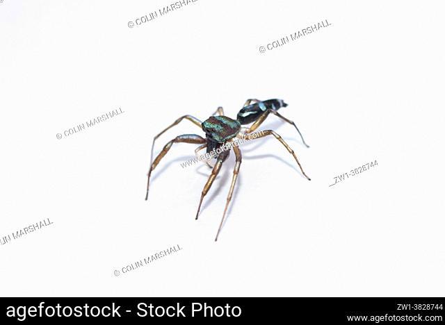 Fighting Spider (Thiania bhamoensis), Klungkung, Bali, Indonesia