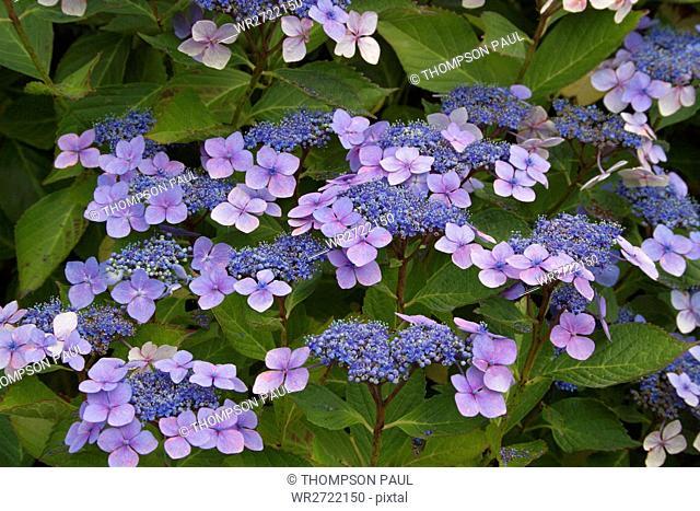 90900147, Blue Lacecap Hydrangea, blue, lilac, lac