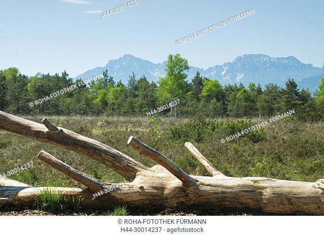 Totholz - Baumstamm im Schönramer Moor mit Hochstaufen, Zwiesel und Teisenberg