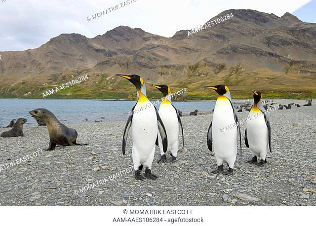 King Penguins and Antarctic Fur Seals (Arctocephalus gazella) on beach, fall, Husvik Bay; Southern Ocean; Antarctic Convergance; South Georgia Island
