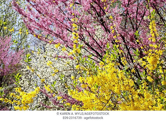 forsythia, redbud, and another tree blossoming in spring, Monroe County, IN