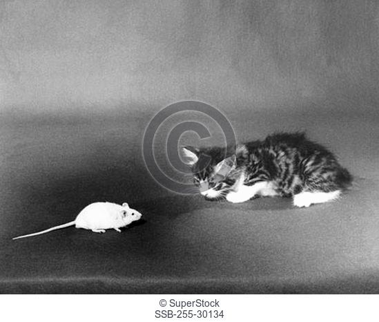 Mouse in front of a kitten