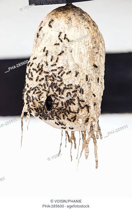 Flying ant's nest