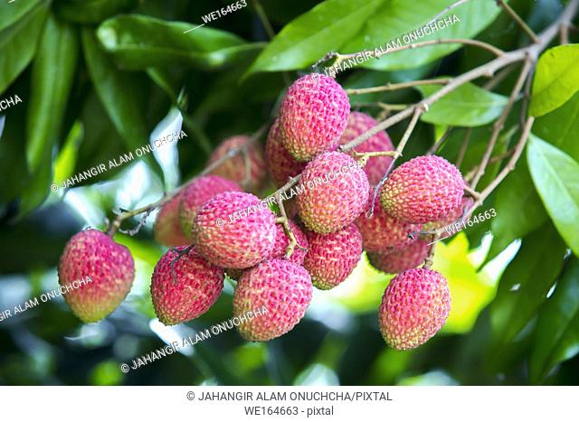 The Lychee is a fresh small fruit having whitish pulp with fragrant flavor. The fruit is covered by a pink-red roughly shell and easily removed to expose a...
