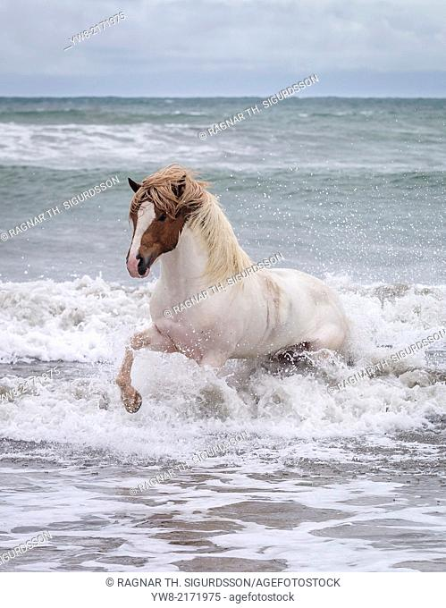 Icelandic horse in the sea, Longufjorur Beach, Snaefellsnes Peninsula, Iceland