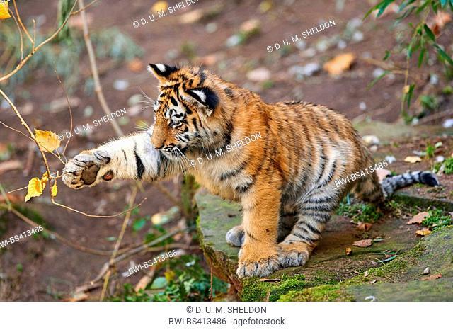 Siberian tiger, Amurian tiger (Panthera tigris altaica), tiger cub playing with a twig