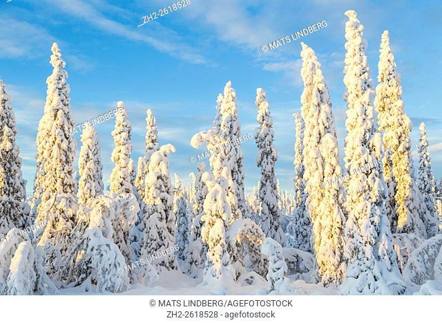 Snowy spruce trees, snow is heavy bending the tree, clear blue sky, warm light, Gällivare, Swedish Lapland, Sweden