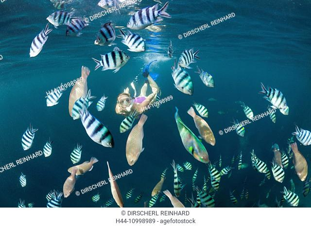 Freediver and Shoal of Sergants, Abudefduf sexfasciatus, Raja Ampat, West Papua, Indonesia