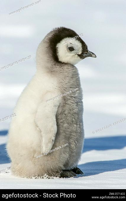 Portrait of an Emperor penguin chick (Aptenodytes forsteri) at the Emperor penguin colony at Snow Hill Island in the Weddell Sea in Antarctica
