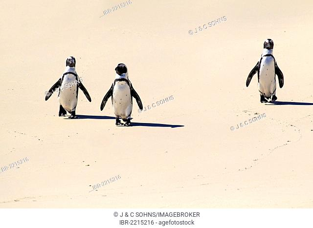 Three Jackass Penguins, African or Black-footed Penguins (Spheniscus demersus), walking on the beach, Boulder, Simon's Town, Western Cape, South Africa, Africa