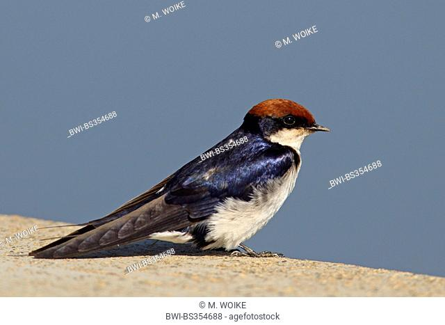Wire-tailed swallow (Hirundo smithii), sits on a wall, South Africa, Kruger National Park