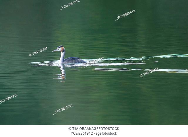 A Great Crested Grebe (Podiceps cristatus) in the uk